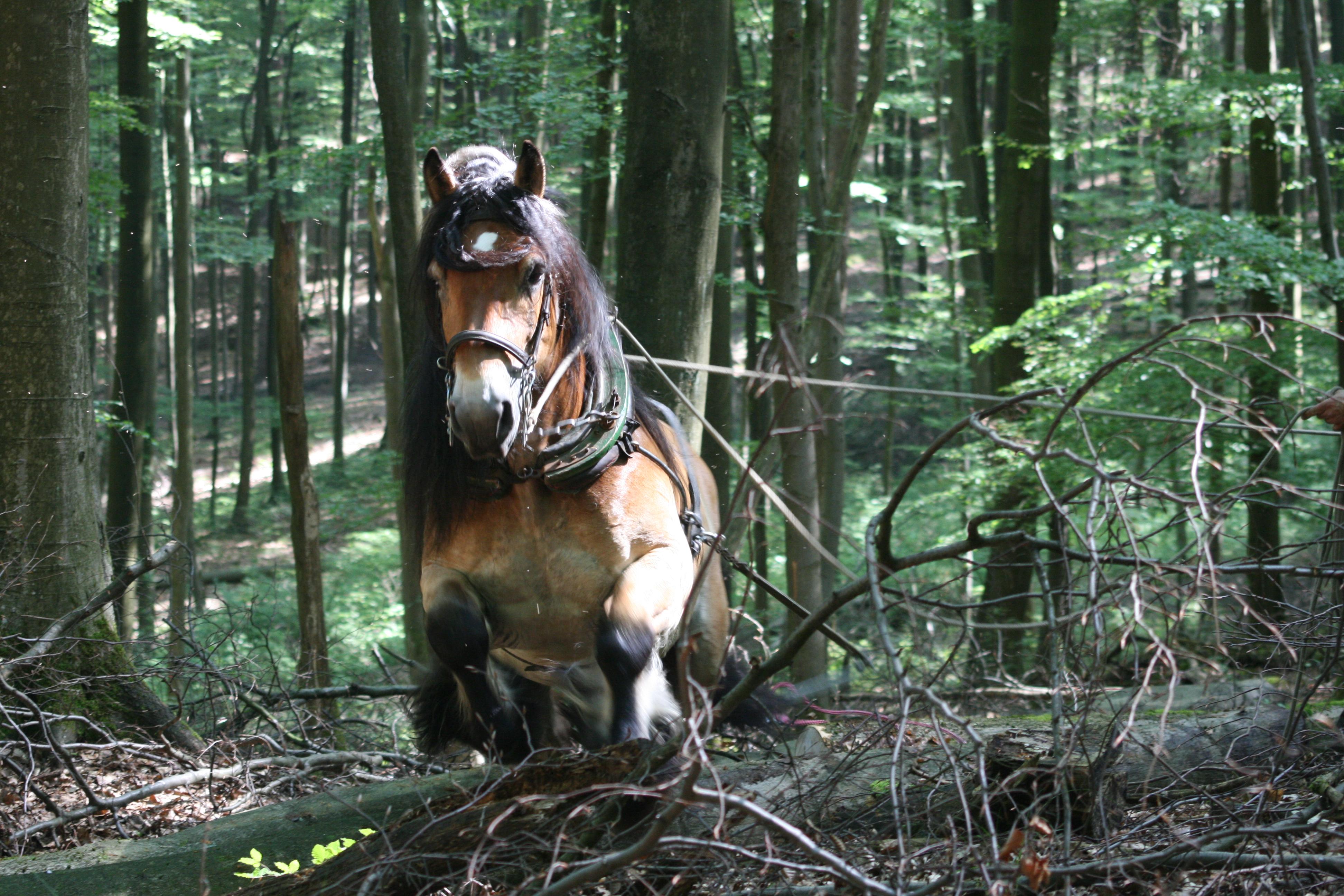Holzrücken mit Pferden - Stefan Golz und Daniel Seidel